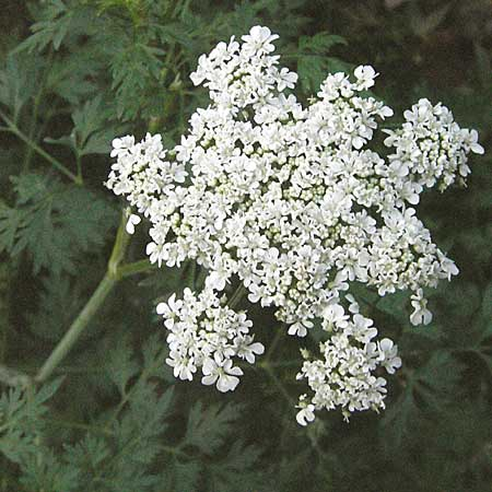 Aethusa cynapium \ Hunds-Petersilie, Garten-Schierling / Fool's Parsley, D Mannheim 24.7.2006