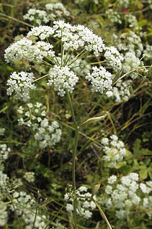 Pimpinella major, Greater Burnet Saxifrage