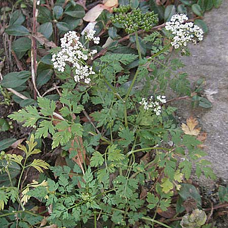 Aethusa cynapium \ Hunds-Petersilie, Garten-Schierling / Fool's Parsley, D Quedlinburg 3.11.2006