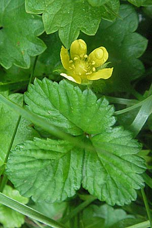 Duchesnea indica, Yellow-flowered Strawberry