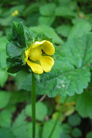 Duchesnea indica \ Indische Schein-Erdbeere / Yellow-flowered Strawberry, D Bruchsal 13.5.2011