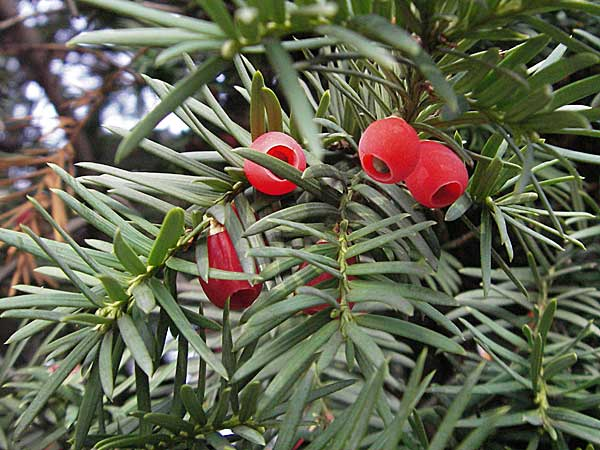 Taxus baccata / Yew, D Mannheim 18.10.2006
