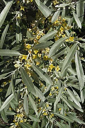 Elaeagnus angustifolia, Narrow-Leaved Oleaster, Russian Olive
