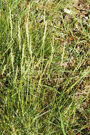 Festuca filiformis \ Haar-Schwingel / Fine-Leaf Sheep Fescue, D Mannheim 20.5.2014