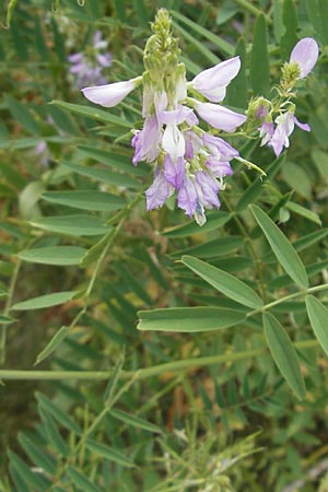 Galega officinalis / Goat's Rue, D Botan. Gar.  Universit.  Mainz 11.7.2009