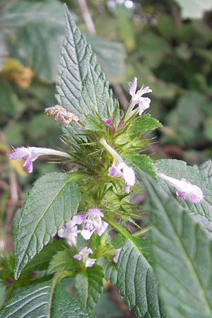 Galeopsis tetrahit, Common Hemp-Nettle