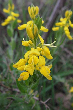 Genista germanica \ Deutscher Ginster / German Broom, D Bensheim 15.5.2006