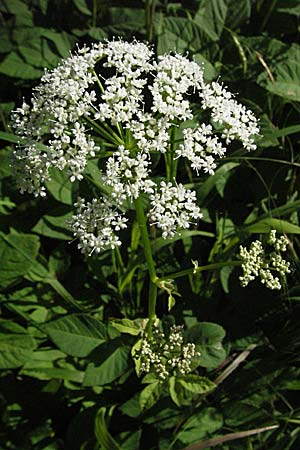 Aegopodium podagraria \ Giersch, Geißfuß / Ground Elder, D Ketsch 6.6.2006