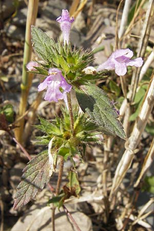 Galeopsis ladanum, Broad-Leaved Hemp-Nettle, Red Hemp-Nettle