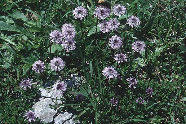 Globularia cordifolia \ Herzblättrige Kugelblume / Leather-Leaf Powder-Puff, D Geigelstein 8.7.1995