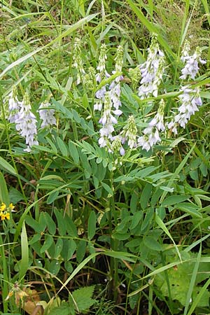 Galega officinalis / Goat's Rue, D Black-Forest,  Hornisgrinde 30.7.2013