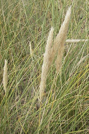 Ammophila arenaria \ Strandhafer / European Marram Grass, European Beach Grass, D Fehmarn 3.8.2009
