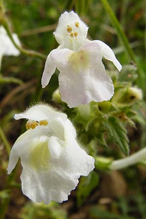 Galeopsis segetum, Downy Hemp-Nettle
