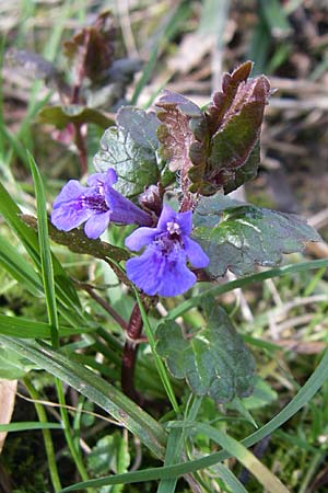 Glechoma hederacea, Ground-Ivy