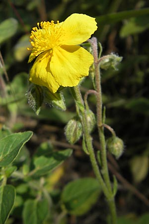 Helianthemum nummularium, Common Rock-Rose