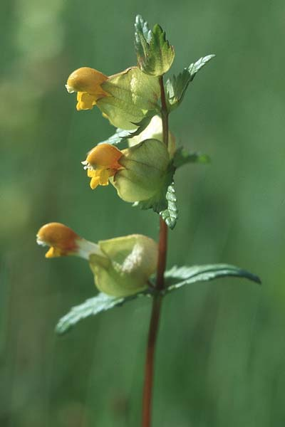 Rhinanthus minor, Kleiner Klappertopf