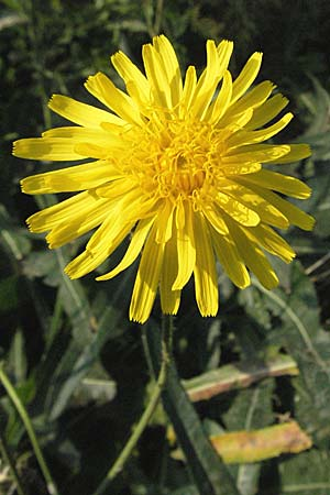 Sonchus arvensis, Perennial Sow-Thistle