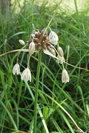 Allium oleraceum, Field Garlic