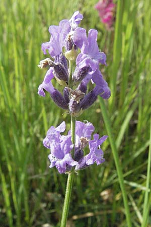 Lavandula angustifolia, Common Lavender