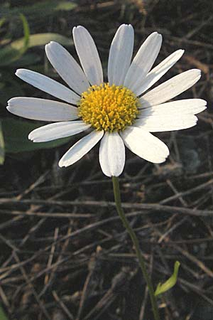 Leucanthemum vulgare, Early Ox-Eye Daisy