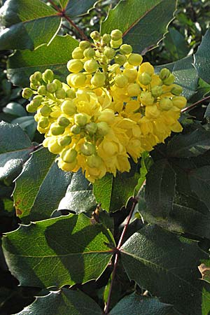 Mahonia aquifolium \ Mahonie / Oregon Grape, D Schwetzingen 11.3.2007