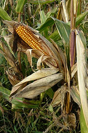 Zea mays / Maize, Sweetcorn, D Mannheim 18.9.2008