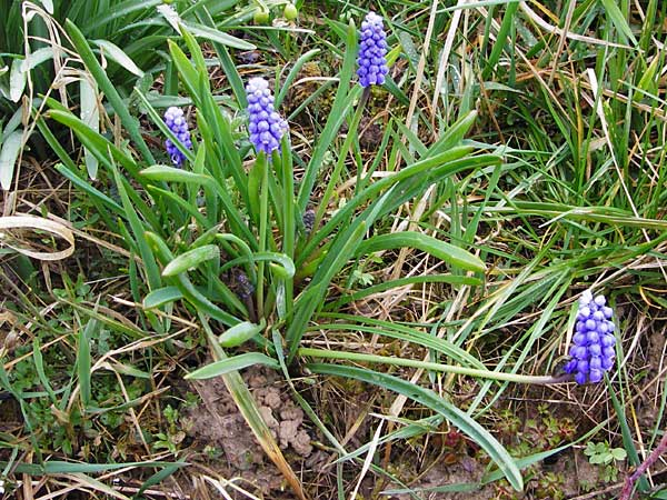 Muscari aucheri \ Auchers Traubenhyazinthe / Aucher-Eloy Grape Hyacinth, D Odenwald, Fürth 18.3.2014