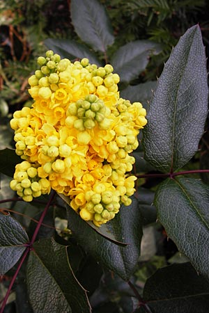 Mahonia aquifolium \ Mahonie / Oregon Grape, D Viernheim 19.3.2014
