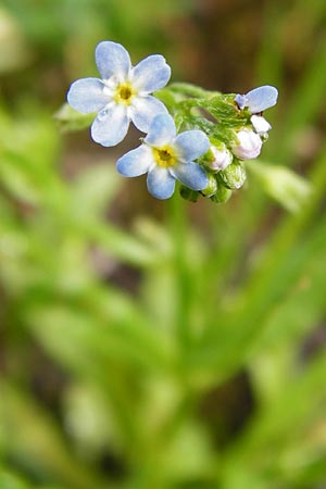 Myosotis laxa \ Rasen-Vergissmeinnicht / Small-Flowered Forget me not, Tufted Forget me not, D Groß-Gerau 11.5.2014