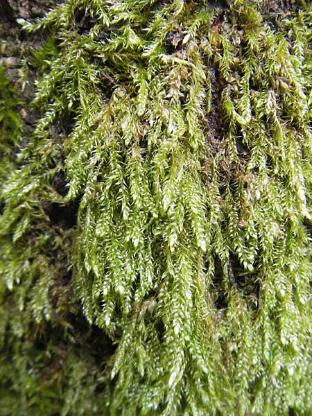 Hypnum cupressiforme \ Zypressen-Schlafmoos / Cypress-Leaved Plait Moss, D Bad Dürkheim 11.10.2009