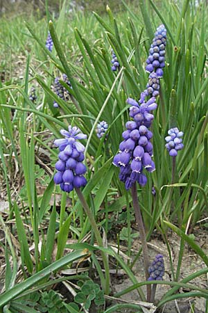 Muscari armeniacum, Armenian Grape Hyacinth