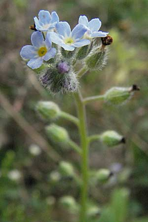Myosotis arvensis, Field Forget me not