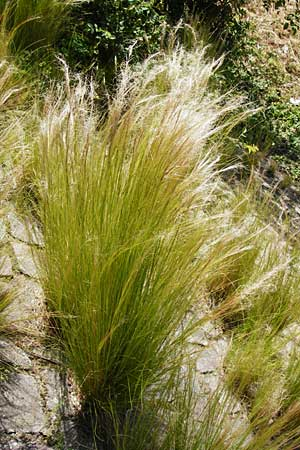 Nassella tenuissima, Mexican Feather Grass