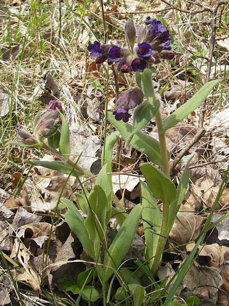 Pulmonaria collina \ Hügel-Lungenkraut / Hill Lungwort, D Rottenburg 31.3.2012