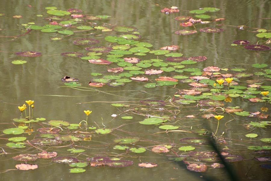 Nymphoides peltata \ Seekanne / Yellow Floating-Heart, Fringed Water Lily, D Schifferstadt 18.7.2014 (Photo: Lili Steiger)