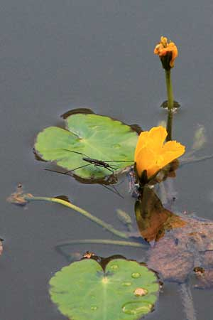 Nymphoides peltata \ Seekanne / Yellow Floating-Heart, Fringed Water Lily, D Schifferstadt 11.8.2014 (Photo: Lili Steiger)