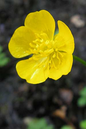 Ranunculus repens, Creeping Buttercup