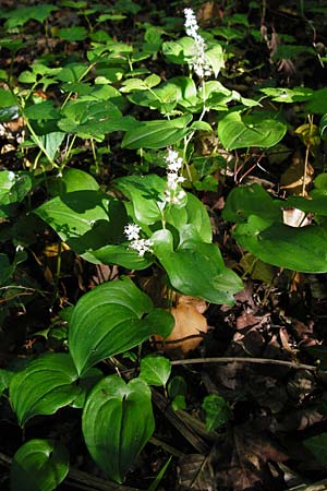 Maianthemum bifolium / May Lily, False Lily of the Valley, D Ketsch 16.5.2014