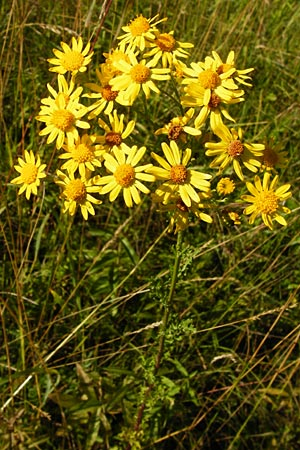 Senecio jacobaea, Common Ragwort