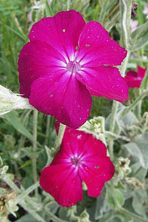 Silene coronaria, Rose Campion