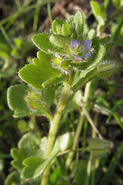 Veronica hederifolia subsp. hederifolia, Ivy-Leaved Speedwell