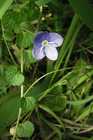 Veronica filiformis, Slender Speedwell