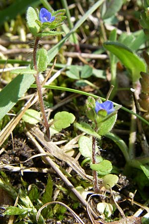 Veronica arvensis, Wall Speedwell