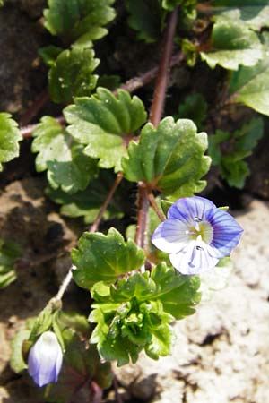 Veronica persica, Common Field Speedwell