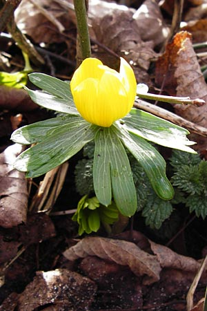 Eranthis hyemalis \ Winterling / Winter Aconite, D Mannheim 9.2.2014