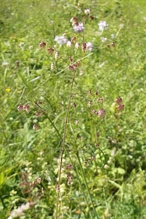 Briza media \ Gewöhnliches Zittergras / Common Quaking Grass, D Bruchsal 13.6.2009