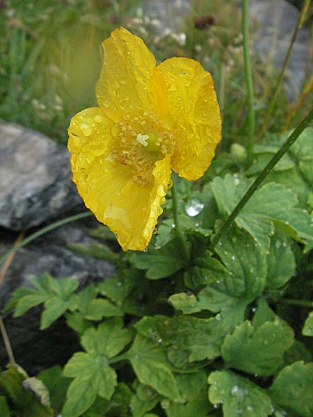 Meconopsis cambrica / Welsh Poppy, E Pyrenees, Benasque 17.8.2006
