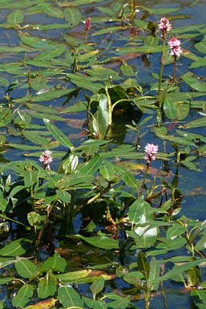 Persicaria amphibia \ Wasser-Knöterich / Water Knotweed, Willow Grass, E Picos de Europa, Covadonga 7.8.2012