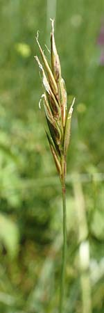 Anthoxanthum alpinum \ Alpen-Ruch-Gras / Alpine Vernal Grass, F Collet de Allevard 9.7.2016