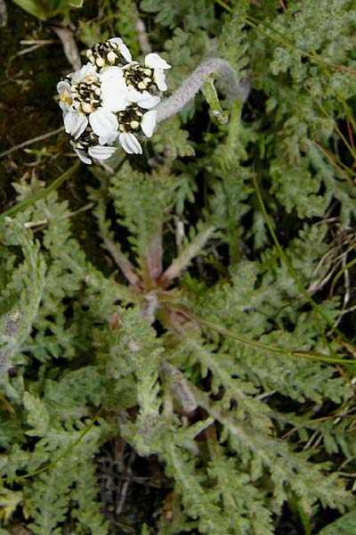 Achillea nana \ Zwerg-Schafgarbe / Dwarf Alpine Yarrow, F Col du Galibier 16.8.2014 (Photo: Thomas Meyer)